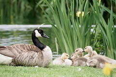 Back to May (bluesywaters) Tags: family color oregon geese spring young goose gosling hillsboro canadagoose dawsoncreekpark
