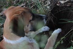 Babel cavando de perfil I (lapelan) Tags: de la agujero campo cerrado serra solitario tarde ftbol babel tierra perra hierba vaco solos bellotas cavar batet