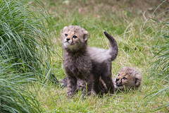 Geparden-Babies / cheetah pups (HendrikSchulz) Tags: baby zoo feline workshop cheetah pup münster allwetterzoo gepard 2015 animalphotography acinonyxjubatus tierfotografie jungtier fotoschuledessehens hendrikschulz hendriktschulz