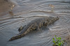 I am a BIG crocodile (Robert Styppa) Tags: southafrica crocodile krugerpark krokodil crocodileriver animalsafrica nikond610 tamron150600