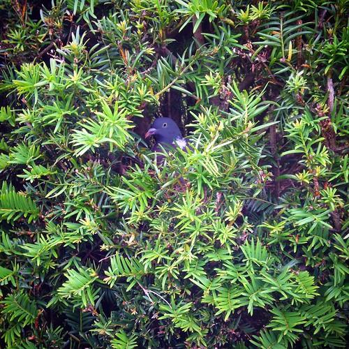 Yew pigeon #maze #seeyewlater #pigeonsofinstagram