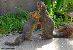 Separation Anxiety Part 6 (Kaptured by Kala) Tags: baby nature concrete squirrel squirrels mother sidewalk motherandbaby babysquirrel separationanxiety garlandtexas mothersquirrel