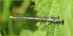 White Legged Damselfly (glostopcat) Tags: riversevern glos tewkesbury whiteleggeddamselfly
