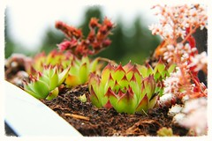 Stenväxt / Stoneplant (maria_450d) Tags: flower sweden bokeh blomma sverige växt stoneplant utomhus strömsfors stenväxt 150727450d8825