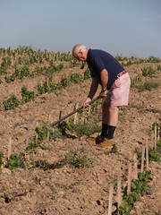 "David Levin Tending his New Babies - Oisly Vineyard • <a style=""font-size:0.8em;"" href=""http://www.flickr.com/photos/133405556@N08/19890976340/"" target=""_blank"">View on Flickr</a>"