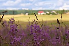 Mid summer (azh565) Tags: summer flower nature field d2x