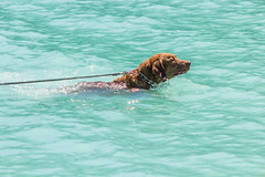 A dog swimming in Lake Louise (mojave955) Tags: park dog lake canada rockies nationalpark national alberta northamerica banff rockymountains lakelouise nationalparkservice banffnationalpark canadianrockies departmentoftheinterior