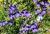 IMG_4583 (cheryl's pix) Tags: california flowers flower berkeley botanicgarden botanicalgardens botanicalgarden botanicgardens berkeleyca berkeleybotanicalgarden ucbotanicalgarden universityofcaliforniabotanicalgarden universityofcaliforniabotanicalgardenatberkeley