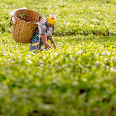 People of Kenya - 8 (josefholmesphotography) Tags: africa colour green field leaves lady female square outdoors basket tea kenya farm nairobi plantation labour picking oneperson limuru eastafrica picker teapicker teafield teafarm pickingtea