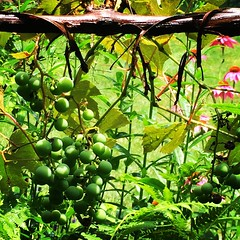 July Grapevine © Lisa Hart