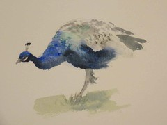 peacock (MaggyN) Tags: painting watercolour peafowl peacock