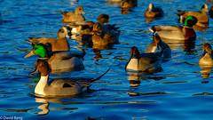 Ducks-Esquimalt Lagoon (david byng) Tags: esquimaltlagoon victoria esquimalt winter vancouverisland pacificocean birds colwood 2017 britishcolumbia canada beach