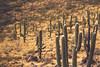 Cacti (b. ellabarger) Tags: cacti tucsonarizona tucson arizona americansouthwest southwest desert spines nature beautiful beauty beautifullight beautyallaroundme beautyinnature beautifulearth tones tumamochill