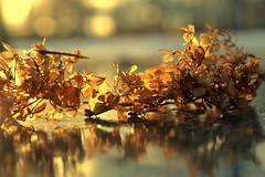 messiness (joy.jordan) Tags: hydrangea leaves ice reflection sunset light bokeh winter texture