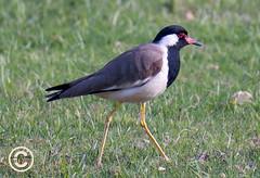 Red-wattled Lapwing (or, large Plover) (mshubhajyoti) Tags: birdsiitk plover lapwing redwattled didhedoit bird largealarm ngc fantastic wildlife beautifull wow