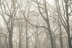 Dendrites (SASHA TURPIN) Tags: synapse dendrites trees forest fog foggy mist misty landscape moody mood 5d 24105mm niebla brouillard light etheral canon branches branching patterns bw blackandwhite monochrome splittone nature