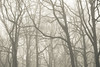 Dendrites (SASHA TURPIN) Tags: synapse dendrites trees forest fog foggy mist misty landscape moody mood 5d 24105mm niebla brouillard light etheral canon branches branching patterns bw blackandwhite monochrome splittone nature