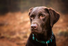 Ziggy (Greig Reid) Tags: dof chocolate face cute young chocolatelabrador depthoffield labrador naturallight ziggy pet eyes dog family lab portrait availablelight
