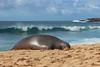 Hawaiian Monk Seal (russ david) Tags: hawaiian monk seal shipwrecks beach kauai september 2016 hawaii hi ocean pacific