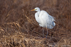 White heron..... (Silvio Sola) Tags: airone bianco white heron great uccello bird silviosola