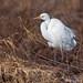 White heron..... (Silvio Sola) Tags: airone bianco white heron great uccello bird silviosola
