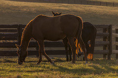 Sunset on a Kentucky Farm (Klaus Ficker thanks for + 2.000.000 views.) Tags: sunset horsefarm farm kentucky horse thoroughbred usa evening kentuckyphotography klausficker canon eos5dmarkii