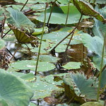 Don't you simply love the droplets of dew on the broad lotus leaves! thumbnail