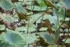 Don't you simply love the droplets of dew on the broad lotus leaves! (shankar s.) Tags: southeastasia seasia vietnam saigon hochiminhcity hcm southvietnam mekongdeltavietnam tiềngiangprovince mytho vinhtrangpagoda religiousshrine placeofworship houseofprayer buddhism buddhistfaith taoism buddhisttemple landscaping templegarden lotusflower freshbloom flora flower lotusleaf freshflower nature dew waterdroplets earlymorningdew