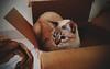 Box love (GabitAmezcua) Tags: cat gato gatita kitty lulú