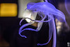 DSC_0465 (Welcome in a wild world) Tags: jellyfish fish purple animal animals water sea tentacles ocean jelly aquarium
