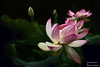 Lotusblüten (Erwin Lorenzen) Tags: lotus lotosblume nature elo flora flowers exotic