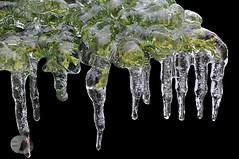 Iced Gin (firstlookimages.ca) Tags: nature natureportrait black color art artistic artisticmanipulation abstractnature stilllife digitalmanipulation digitalart digitalphotography detail ice icestorm juniper