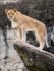 Mountain Lion (montusurf) Tags: rock climb mountain lion lioness stand top outcrop cameron park zoo view texas waco