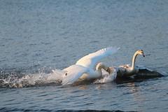 Swan attacks a Juvenile Swan (jdathebowler Thanks for 1.1 Million + views.) Tags: muteswan juvenileswan biting attacking ngc naturethroughthelens alittlebeauty