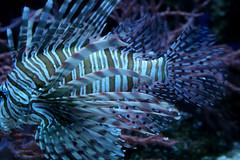 lion fish in its patterned majesty (wmpe2000) Tags: 2016 daytrip lajolla birchaquariumatscripps aquarium lionfish fish