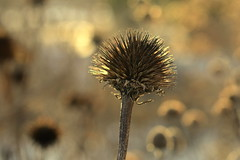 winter song (joy.jordan) Tags: dormant seedheads texture light bokeh winter nature poetry beautyindeadbrownthings
