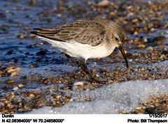 Dunlin (Bill.Thompson) Tags: dunlin calidrisalpina racepoint capecod provincetown ma birds