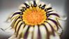 Flor (Fabian Araya Ramos) Tags: arayafotografia olympus penf olympusphotography olympuscamera olympusphotos olympuschile olympuspenf themasterpiecepenf microfourthirds nokton25 voigtlander nokton25mm nokton25mmf095 m43