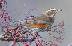 Redwing eating the last of the berries ! (snapp3r) Tags: feeders home redwing