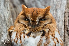 Eastern Screech Owls of NJ | 2017 - 4 [EXPLORED] (RGL_Photography) Tags: animalkingdom birds birdsofprey easternscreechowl megascopsasio mothernature nikonafs200500mmf56eedvr nikond610 ornithology owls raptors rufousmorph wildlife wildlifephotography us unitedstates newjersey gardenstate