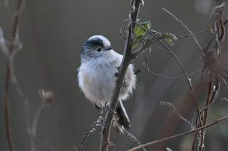 Long-tailed Tit - Aegithalos caudatus UB2A4079