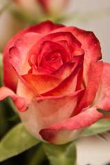 Rose (Jon Pinder) Tags: canon eos7d 1755mm rose flower petal