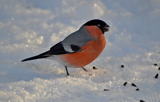 Bullfinch (random shot at my lunchtime) #Finland #Winter