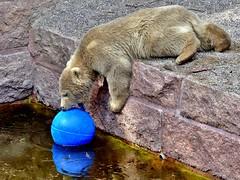 *I*want*this*blue*ball* (BrigitteE1) Tags: germany de europe polarbear rostock ijsbeer  eisbr ursusmaritimus  oursblanc fiete nanuq isbjrn ursopolar osopolar jkaru jegesmedve isbjrn orsopolare zoorostock jkarhu kutupays  nanoq hvtabjrn sbjrn  niedwiedpolarny bijxing beruangkutub  baltasislokys  polrlcis  waapaskw polarbearfiete eisbrfiete blyjmedvd polikarkda barbn bukgeukgom iwantthisblueball