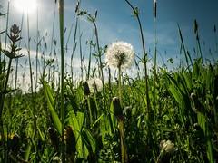 Wiese/Meadow (micha-m) Tags: green meadow wiese dandelion gras grn sonne lwenzahn pusteblume