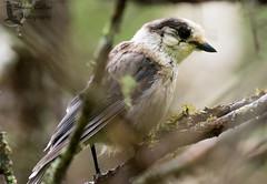 Gray Jay ( Adult) (Shawn Collins Photography) Tags: bird birds vermont pines bogs jays crows blackbirds boreal grayjay northernwoods moosebog borealbirds