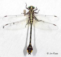 Dragonfly - Clubtail, Cobra - Gomphus vastus 1a (male KS) (edit)