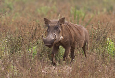 Warthog (Phacochoerus africanus) (macronyx) Tags: africa nature animal animals mammal wildlife ghana mammals warthog phacochoerus phacochoerusafricanus däggdjur vårtsvin
