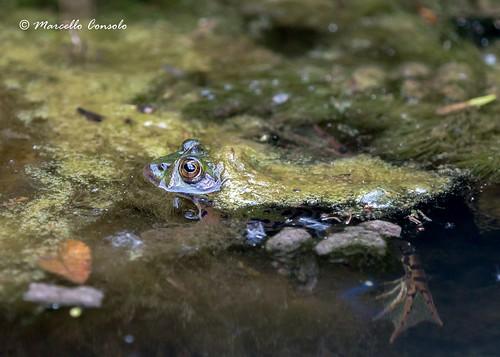 Mimetic frog :)