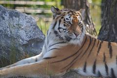Syberische tijger-2 (pclaesen) Tags: holland zoo bergen tijger dierentuin pantheratigrisaltaica nikond3200 beekse syberische